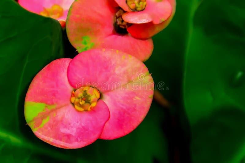 Huit tiges color?es de p?tales de fleur d'immortals avec des ?pines photos stock
