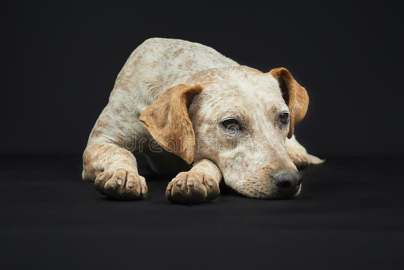 Huka sig ned hund royaltyfri bild