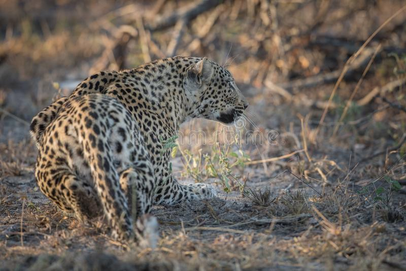 Huka sig ned leoparden på jakten royaltyfri bild