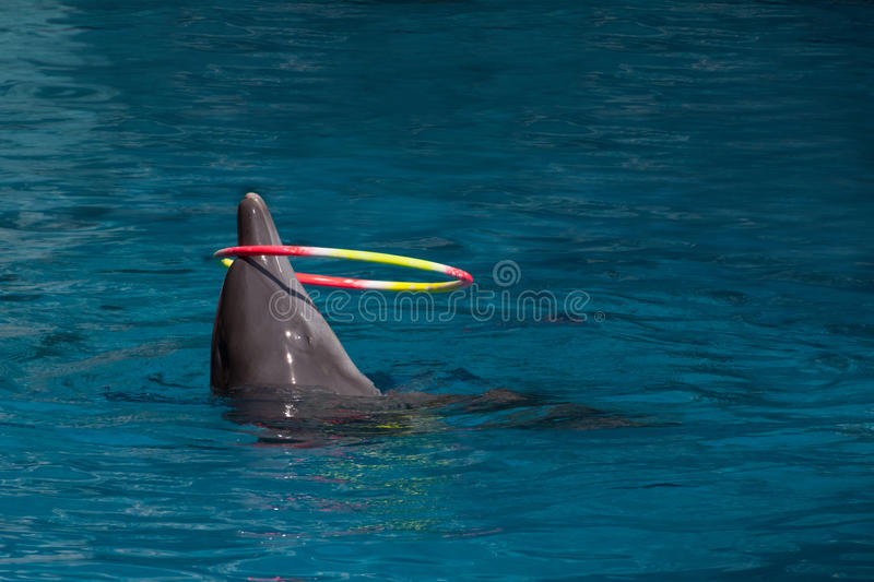 Hula Hoop. A dolphin is playing a hula hoop in a pool stock photography