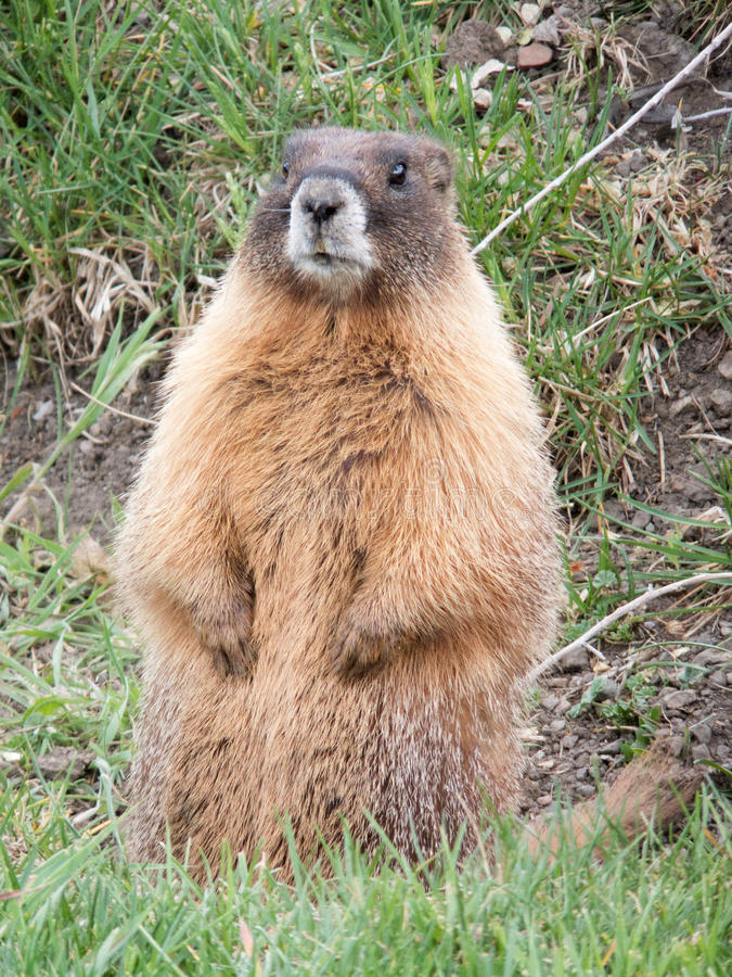 Hullo!. Prairie Dog or Marmot popping up for a friendly Hello royalty free stock image
