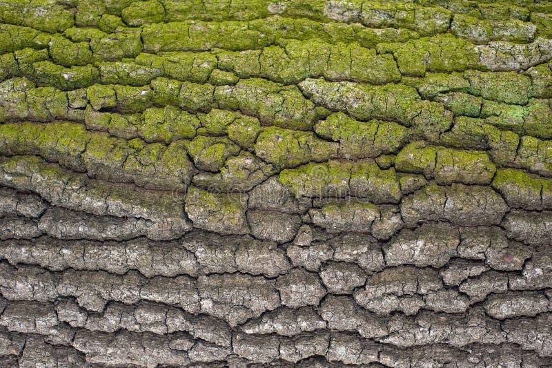 Hulptextuur van de bruine schors van een boom met groen mos op het Horizontale foto van een textuur van de boomschors stock foto's