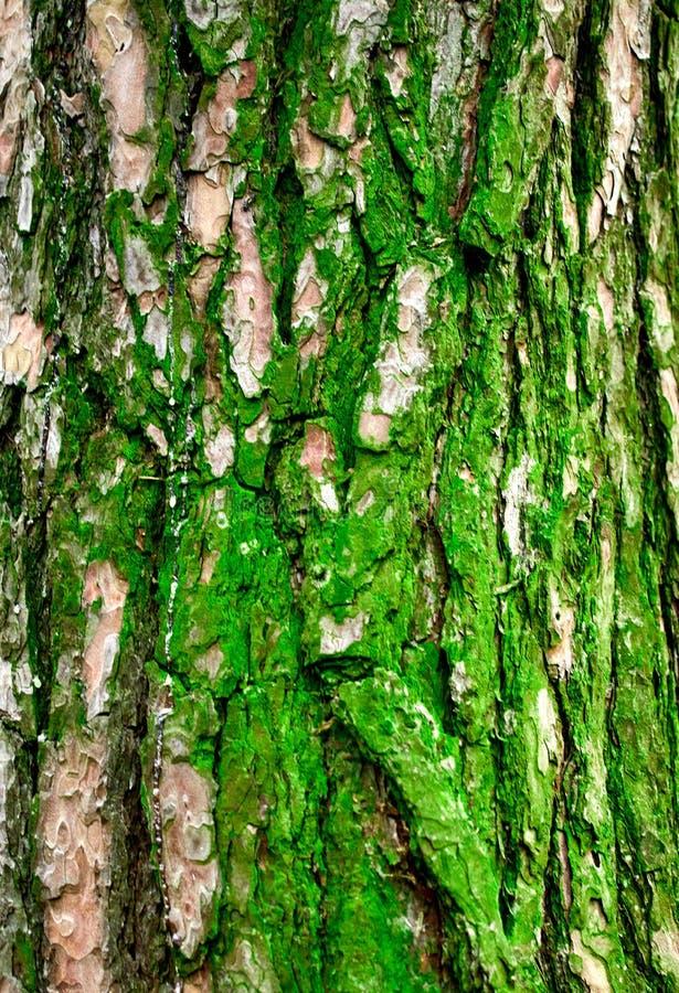 Hulptextuur van pijnboomschors met groen mos stock afbeelding
