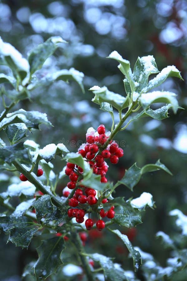 Hulst met Sneeuw stock foto's