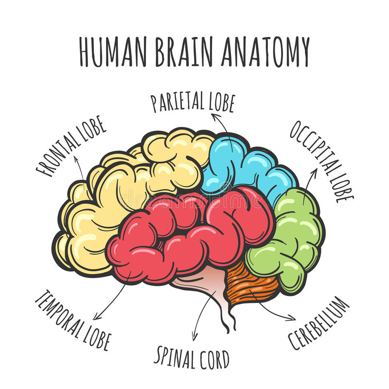 Humain Brain Anatomy Sketch illustration de vecteur