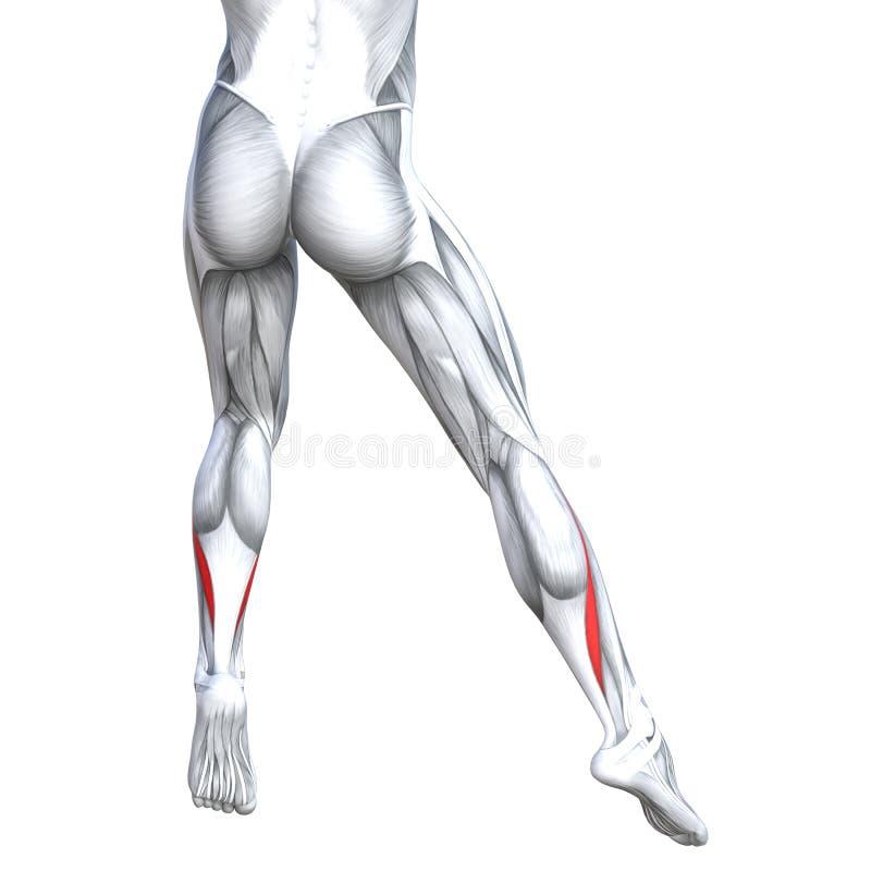 Humain inférieur arrière fort de jambe d'illustration du concept 3D illustration libre de droits