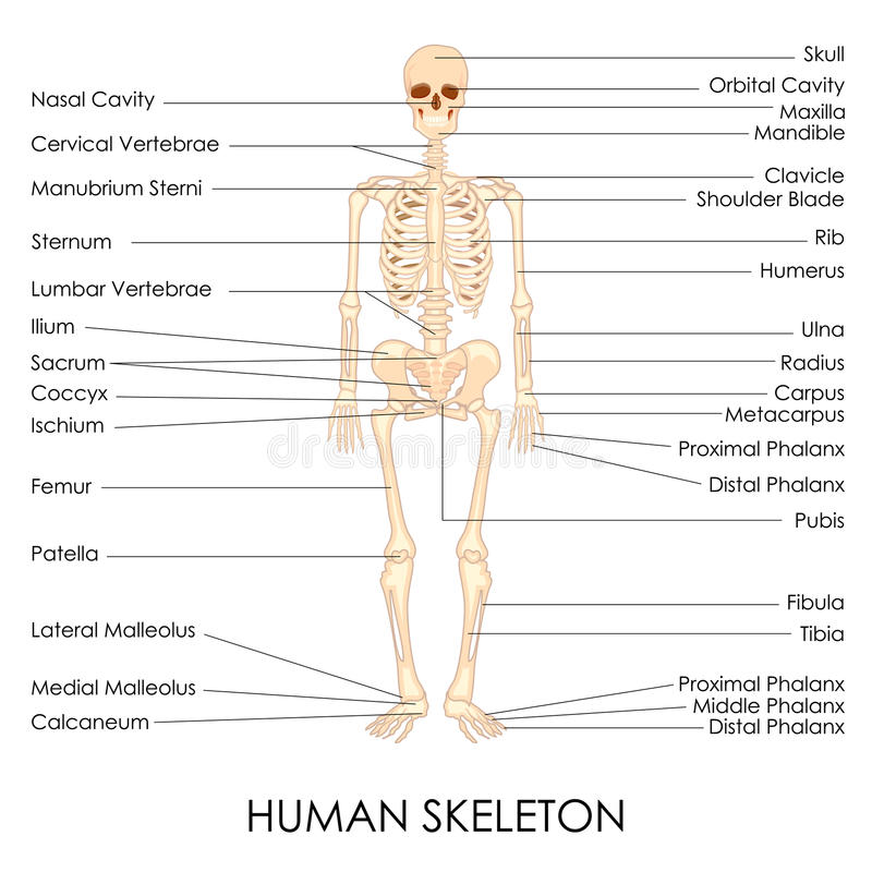 Humain Skelton illustration libre de droits
