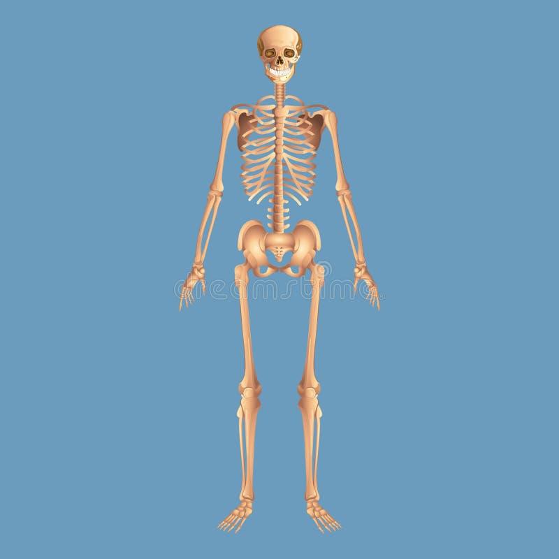 Humain squelettique d'anatomie d'isolement sur un fond bleu photos stock