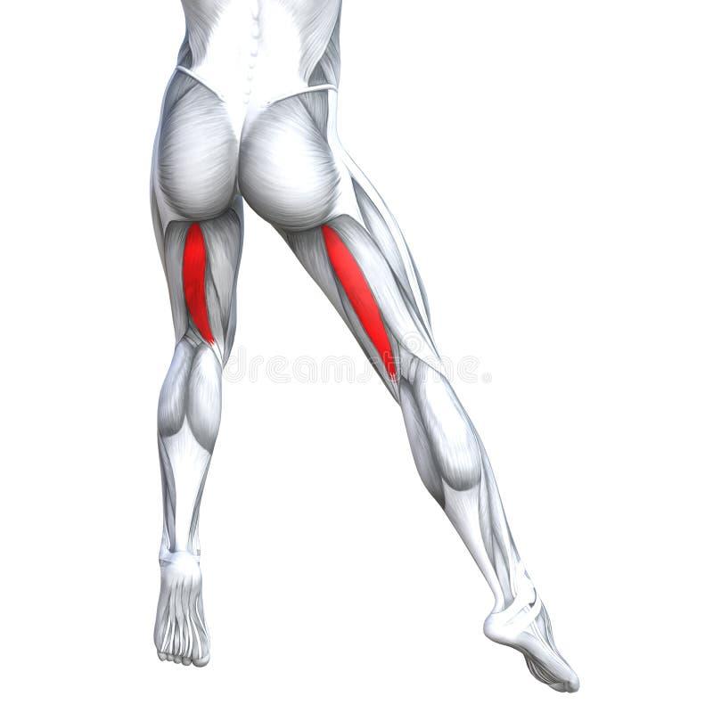 Humain supérieur arrière fort de jambe d'illustration du concept 3D illustration de vecteur
