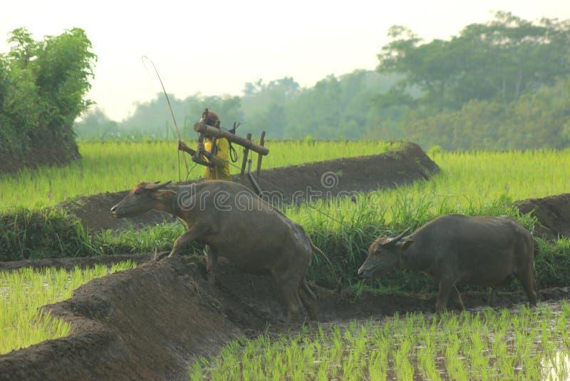 Humains et bétail images libres de droits