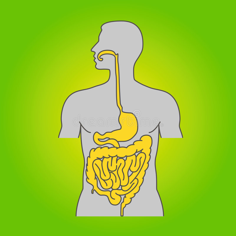 Download Human alimentary system stock vector. Image of intestines - 8494294