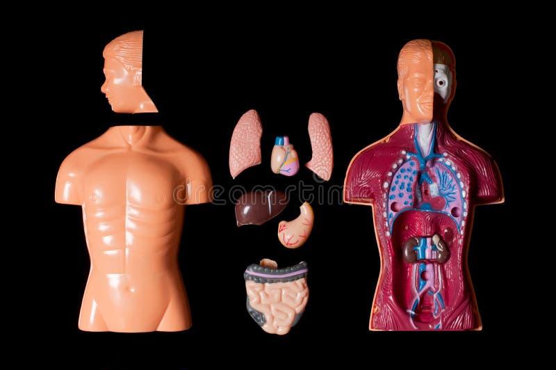 Download Human Anatomy Royalty Free Stock Image - Image: 24719506