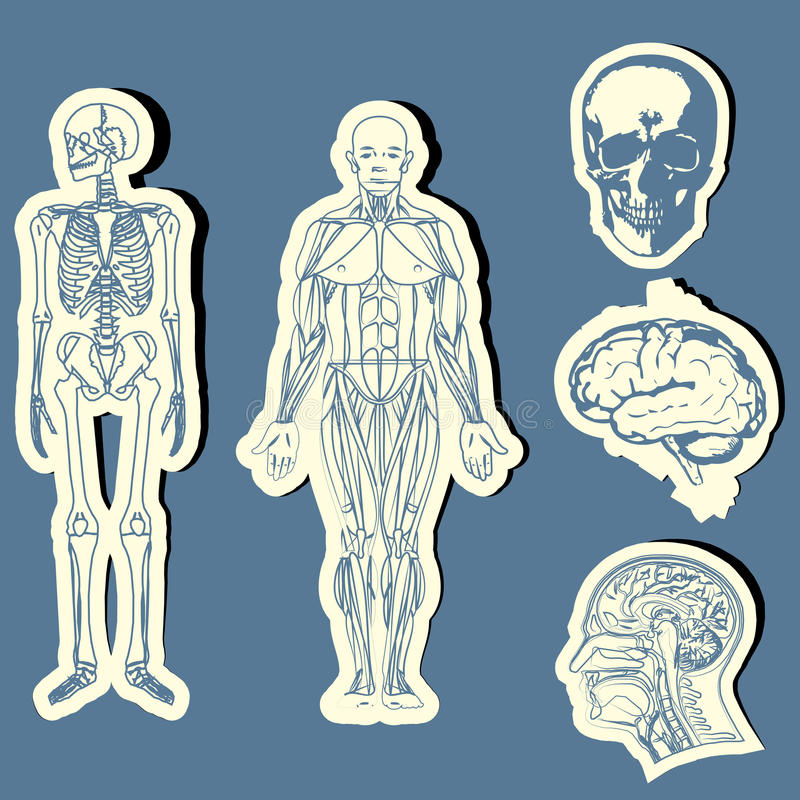 Free Human Anatomy Royalty Free Stock Images - 25263329