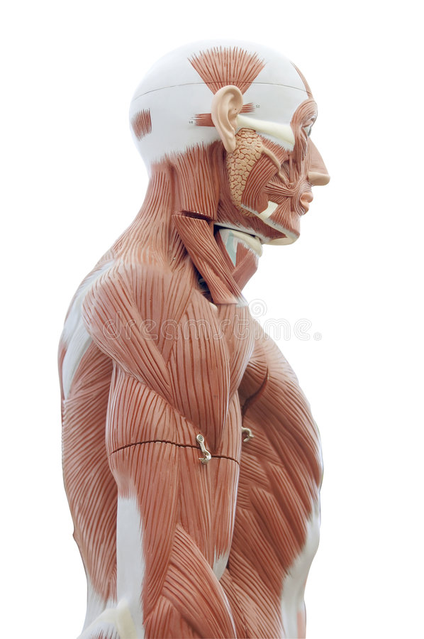 Human anatomy. Structure of head and trunk muscles and tendons stock photography