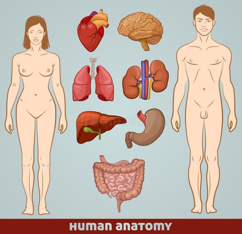Download Human anatomy stock vector. Image of colon, cardiovascular - 25838909