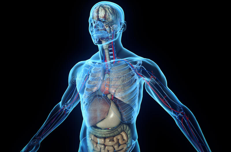 Human Anatomy vector illustration