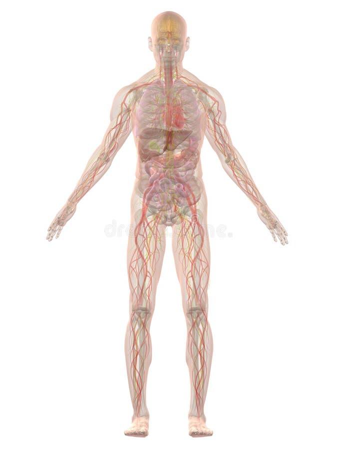 Human anatomy. 3d rendered anatomy illustration of a transparent human body royalty free illustration