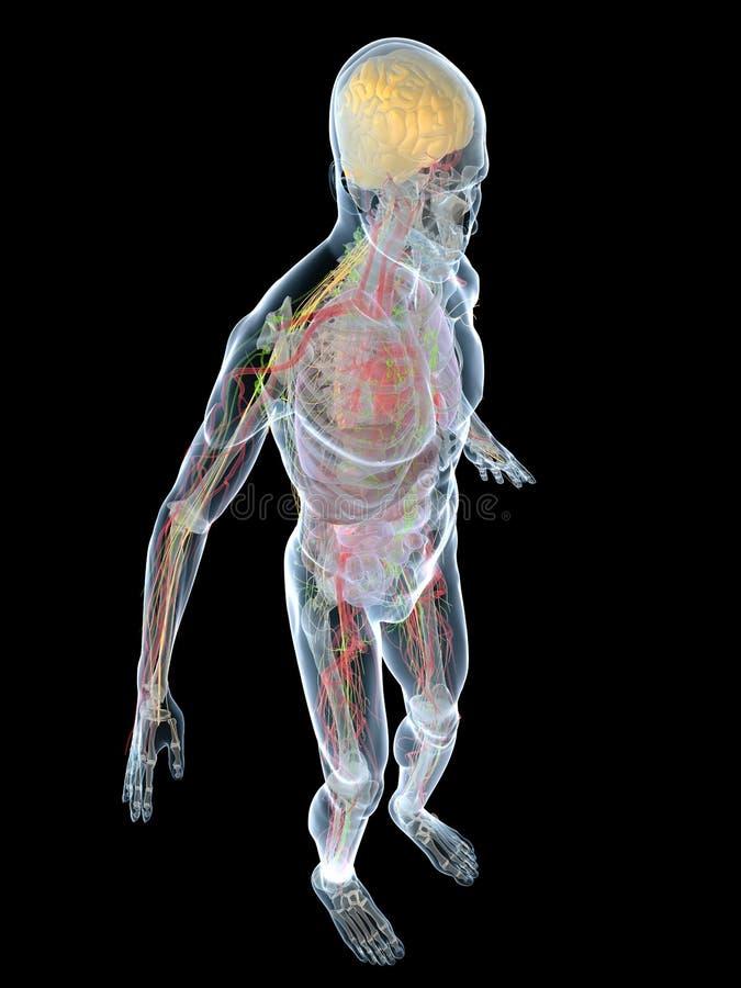 Human anatomy. 3d rendered anatomy illustration of a transparent human body stock illustration
