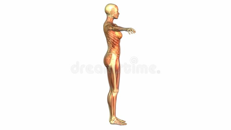 Human Anatomy Animation Stock Video Illustration Of Clip 38640058