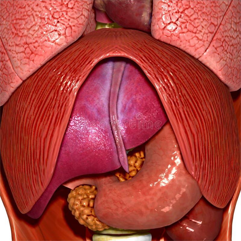 Human Anatomy Stock Illustration Illustration Of Internal 44799629