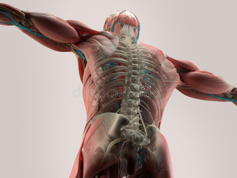 Human anatomy detail of back,spine. Bone structure, muscle. On plain studio background. Professional lighting royalty free illustration