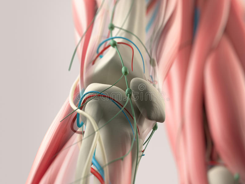 Human anatomy detail of shoulder,arm and neck. Bone structure, muscle, arteries. On plain studio background.Human anatomy detail o. Human anatomy detail of knee stock illustration