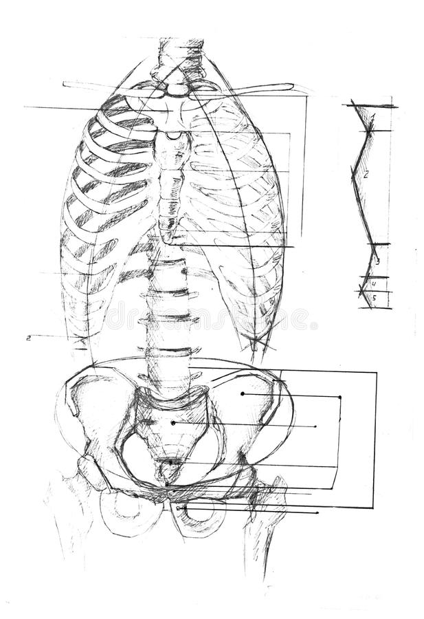 Human anatomy diagram stock photo. Image of body, ribs - 35247992