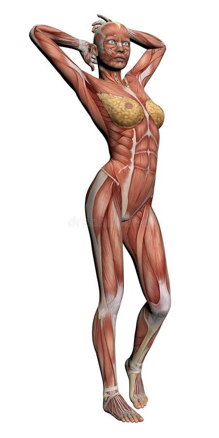 Free Human Anatomy - Female Muscles Stock Photo - 31217730