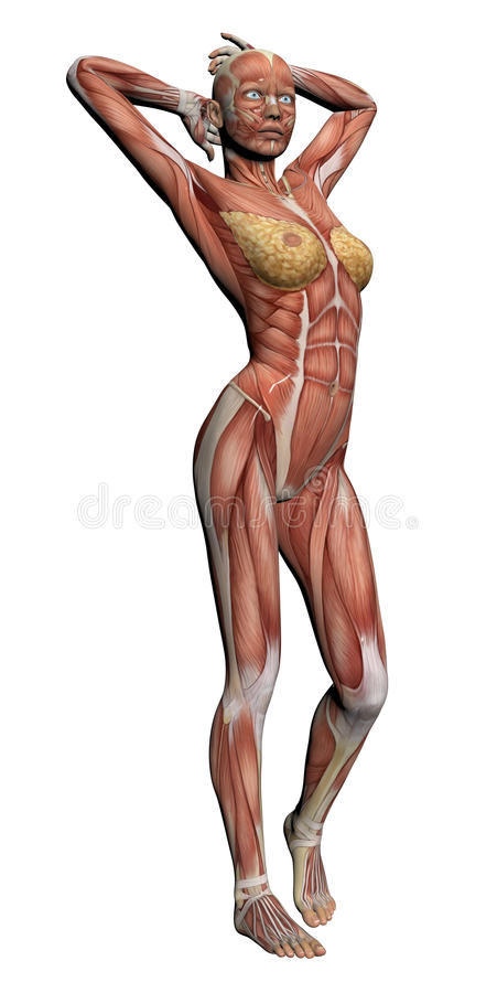 Human Anatomy Female Muscles Stock Illustration Illustration Of