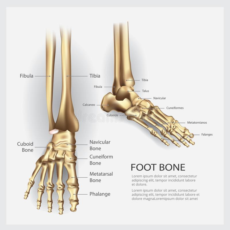 Human Anatomy Foot Bone. Vector Illustration stock illustration