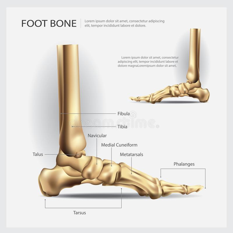 Human Anatomy Foot Bone stock vector. Illustration of fibula - 103006968