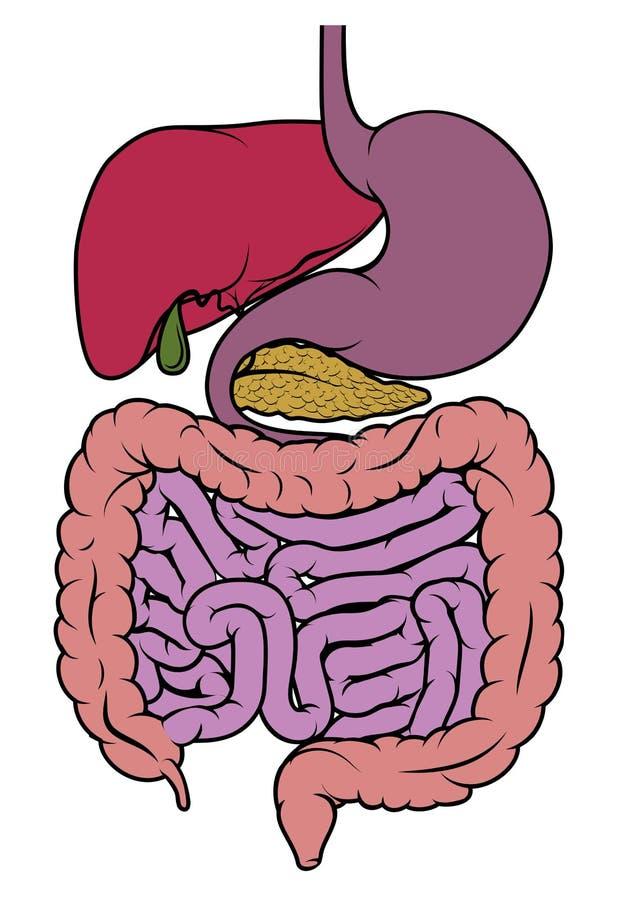 Human anatomy gut gastrointestinal tract diagram. A digestive system human anatomy gut gastrointestinal tract diagram vector illustration