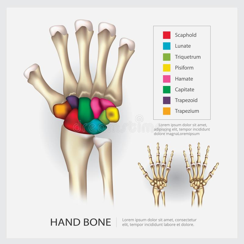 Human Anatomy Hand Bone. Vector Illustration vector illustration