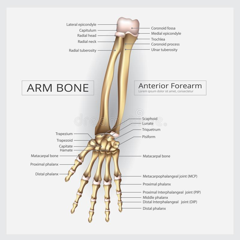 Human Anatomy Hand Bone. Vector Illustration royalty free illustration