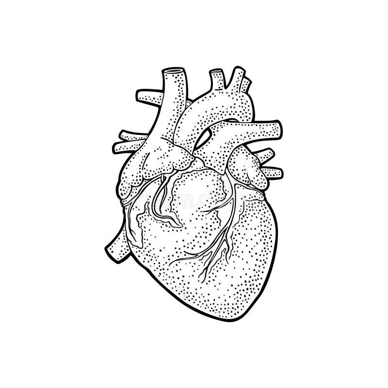 Human anatomy heart. Vector black vintage engraving illustration vector illustration