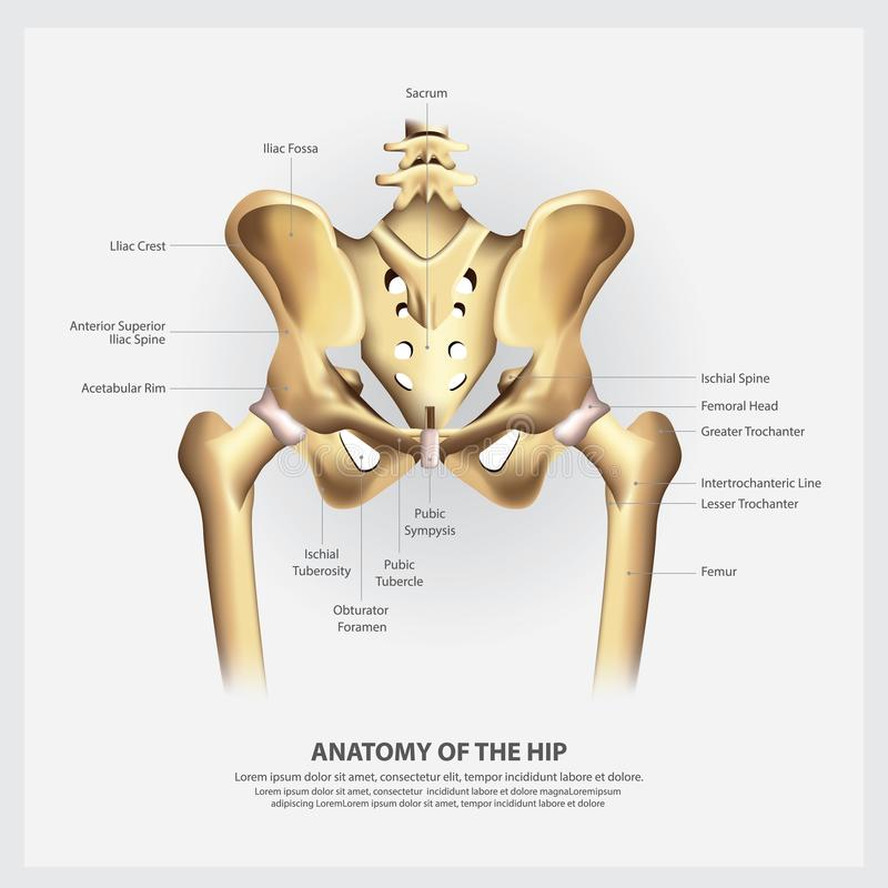 Human Anatomy of the Hip stock illustration