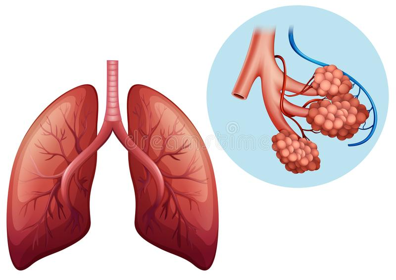 Human Anatomy of Human Lung. Illustration stock illustration