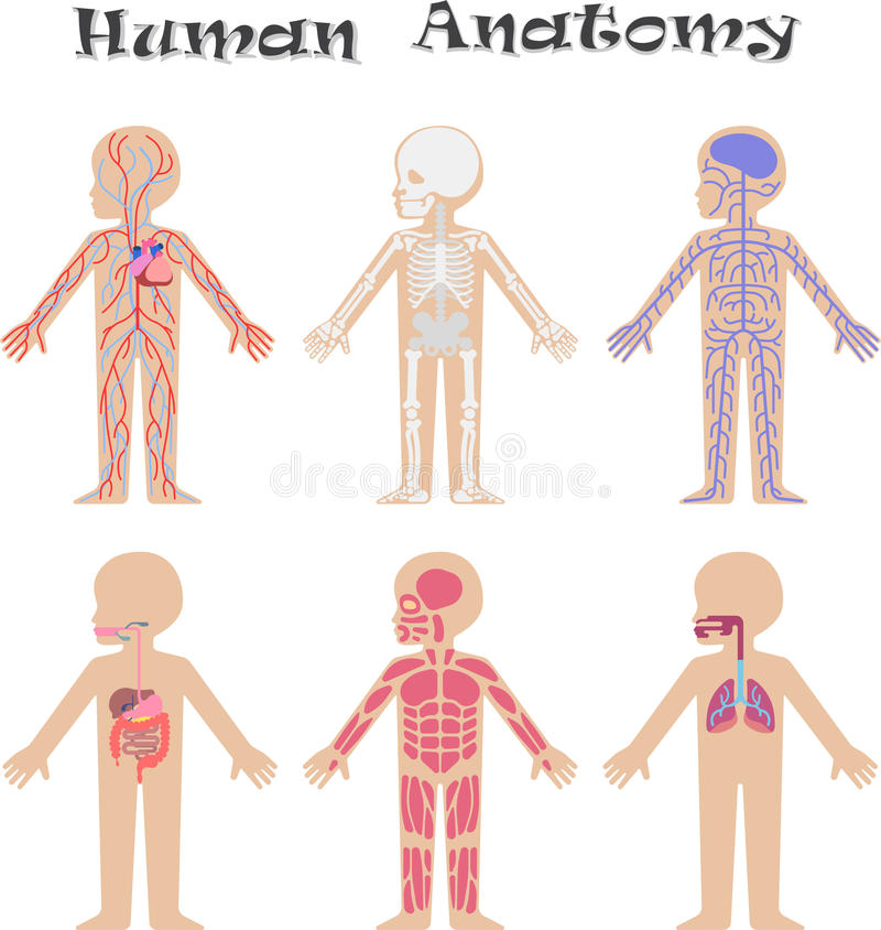 Human Anatomy For Kids Stock Vector Illustration Of Biology 90997143