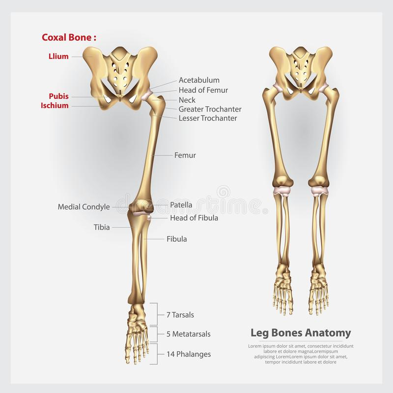 Human Anatomy Leg Bones stock illustration