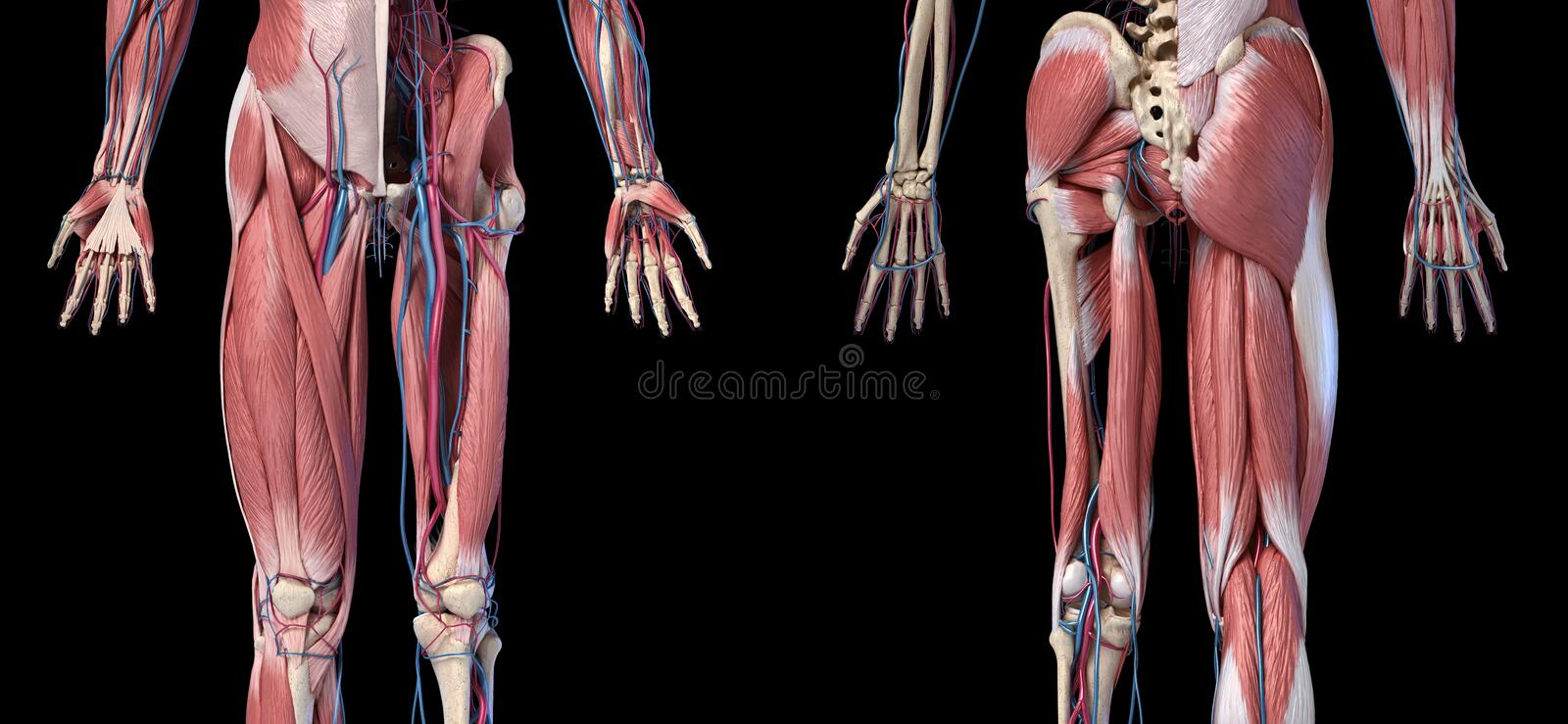 Human Anatomy,  Limbs and hip skeletal, muscular and cardiovascular systems. Viewed from the front and back. Human Anatomy,  Limbs and hip skeletal, muscular and vector illustration