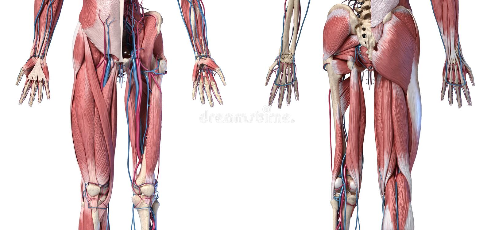Human Anatomy,  Limbs and hip skeletal, muscular and cardiovascular systems. Viewed from the front and back. Human Anatomy,  Limbs and hip skeletal, muscular and stock illustration