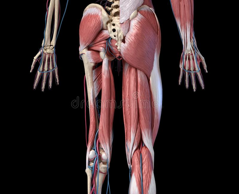 Human Anatomy,  Limbs and hip skeletal, muscular and cardiovascular systems. Viewed from the back. Human Anatomy,  Limbs and hip skeletal, muscular and royalty free illustration