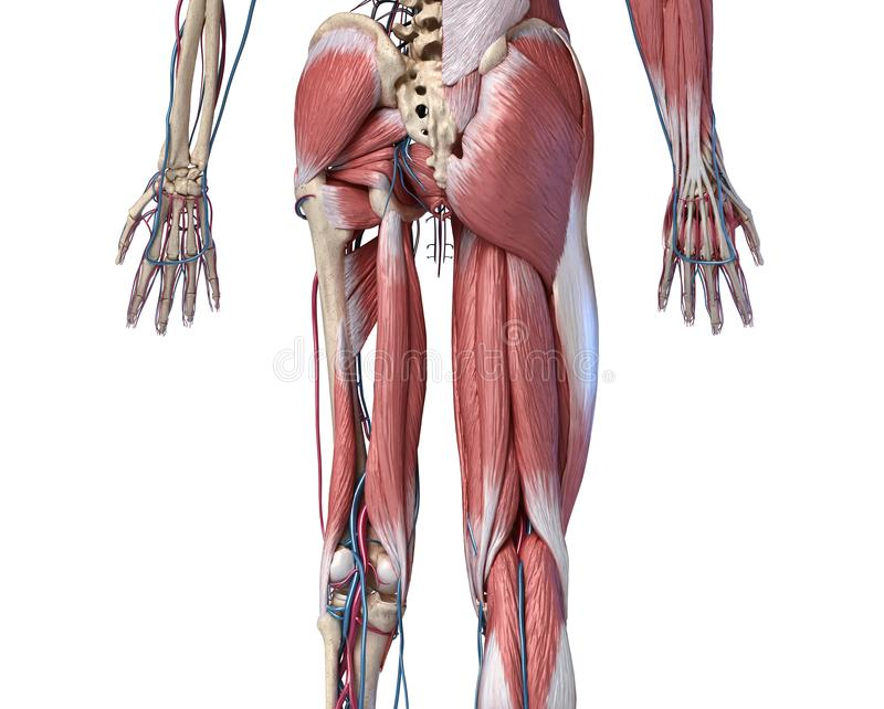 Human Anatomy,  Limbs and hip skeletal, muscular and cardiovascular systems. Viewed from the back. Human Anatomy,  Limbs and hip skeletal, muscular and stock illustration