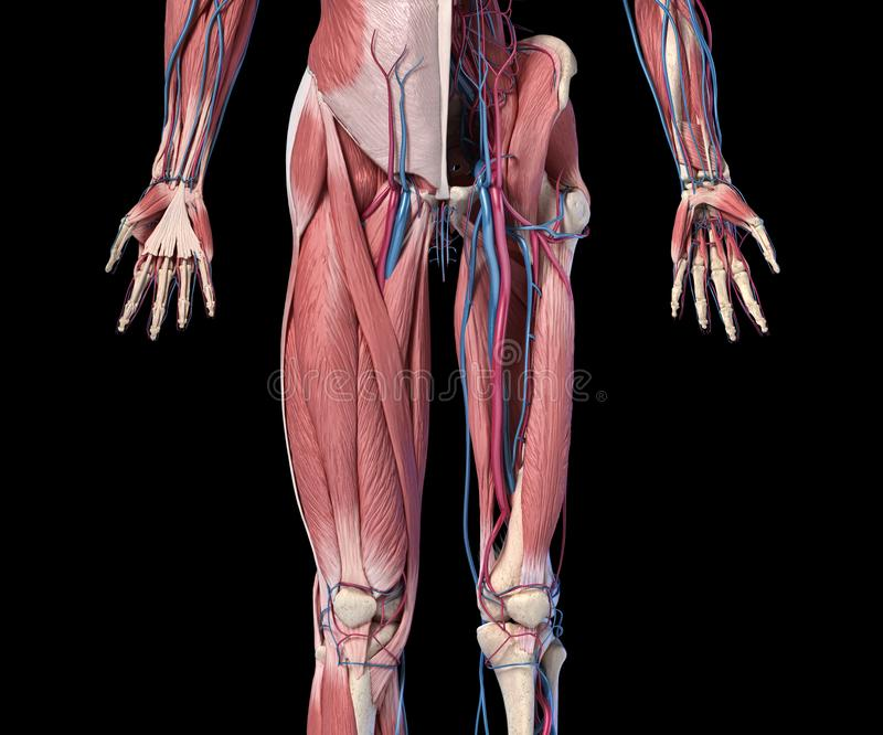 Human Anatomy,  Limbs and hip skeletal, muscular and cardiovascular systems. Viewed from the front. Human Anatomy,  Limbs and hip skeletal, muscular and vector illustration