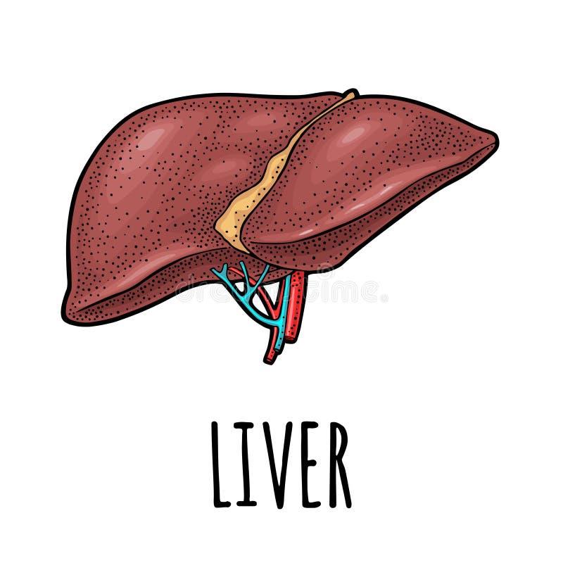 Human anatomy liver. Vector color vintage engraving illustration vector illustration