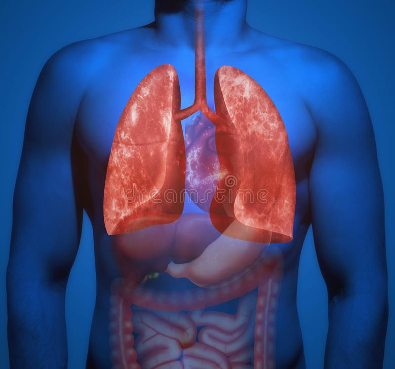 Human anatomy. The lungs. The structure of the human body. Human organs with an emphasis on the lungs stock photos