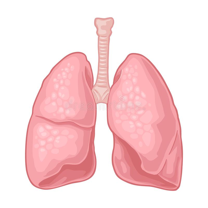 Human anatomy lungs. Vector black vintage engraving illustration vector illustration
