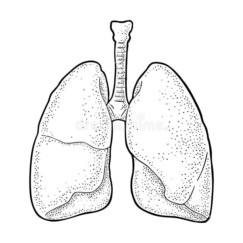 Human anatomy lungs. Vector black vintage engraving illustration royalty free illustration