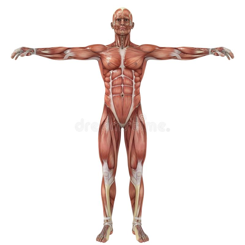 Human Anatomy. A male model showing the muscles and his flexibility royalty free illustration