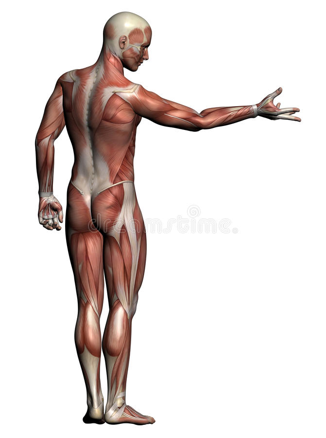 Human Anatomy - Male Muscles Stock Illustration - Illustration of ...